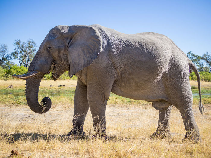 Elephant grazing on field against clear sky, moremi game reserve, botswana