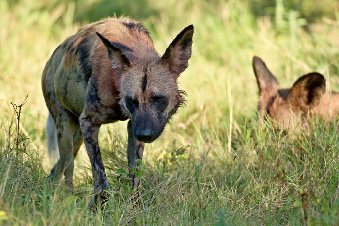 Animal Themes Animal Wildlife Animals In The Wild Day Grass Mammal Nature No People Outdoors Painted Dog Wild Wild Dog Wild Dogs Wildlife Young Animal