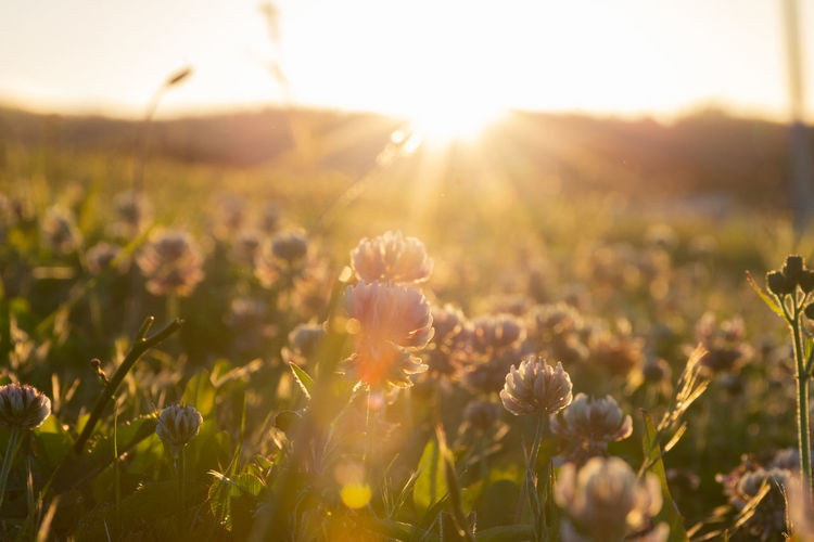 Close-up of flowering plants on field against bright sun