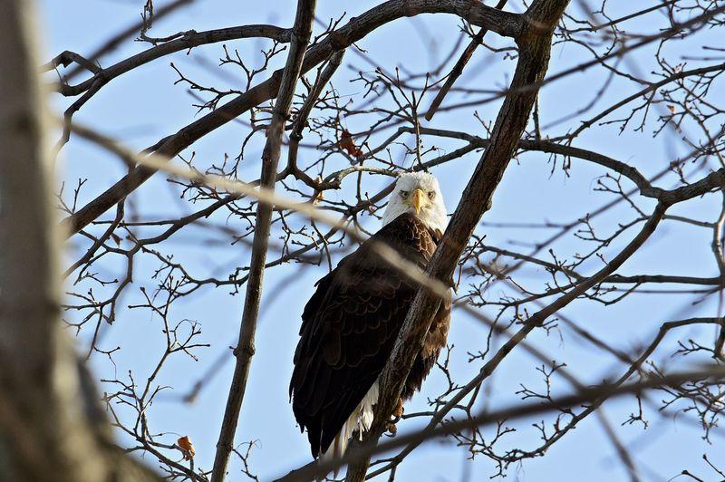 Eagle Blue Sky