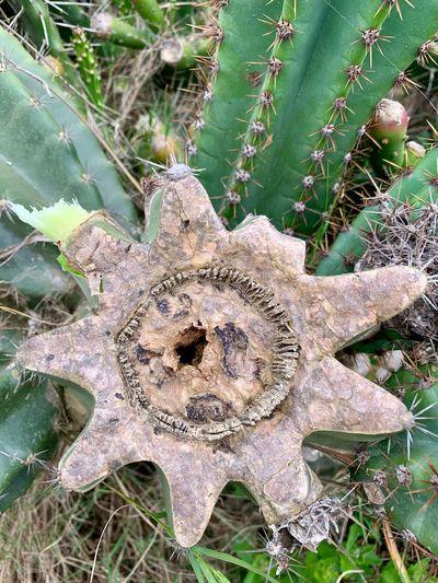 Cactus No