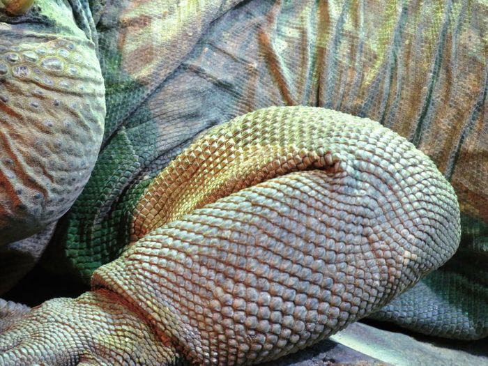 Animal Scale Animal Themes Animals In The Wild Close-up Crinkled Day Details Jacket Leather Lizard Monitor Lizard No People One Animal Outdoors Relaxing Reptile Rumpled Scales Shapes And Forms Shapes And Patterns  Skin Terrarium Textured  Textures And Surfaces Varanus