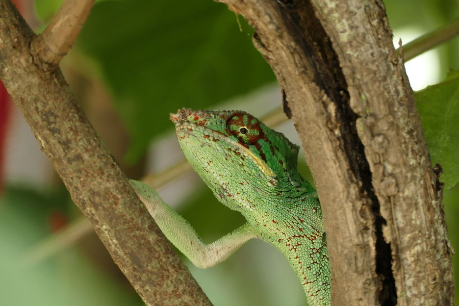 Animal Themes Animal Wildlife Animals In The Wild Branch Chameleon Close-up Day Focus On Foreground Green Color Lizard Nature No People One Animal Outdoors Perching Reptile Tree Tree Trunk