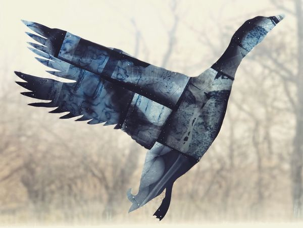 Duck Flying Mid-air Low Angle View Bird Spread Wings No People Sky Day Animal Themes Close-up Outdoors
