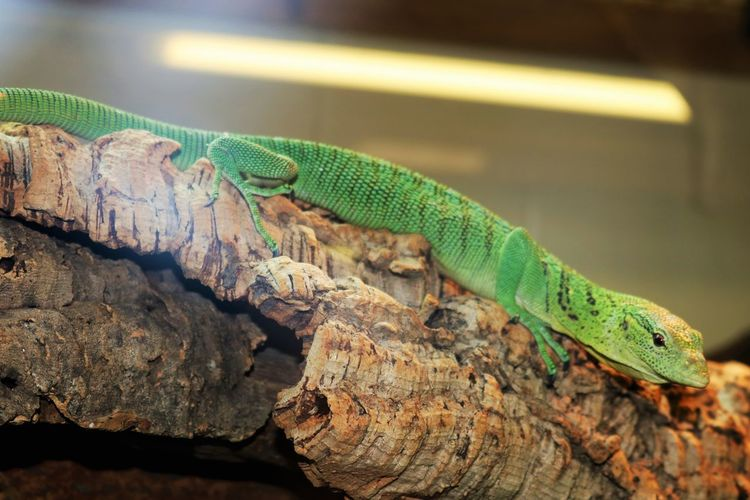 Sleek Green Lizard Reptile Ridges Rock Squamata Anole Camouflage Long Body Reptiles Sleek Warm Blooded Wild