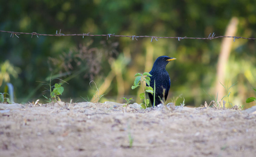 Black Myna Myna Am I Cute Animal Themes Animal Wildlife Animals In The Wild Beauty In Nature Bird Black Bird Black Bird With Yellow Bill Black Myn Close-up Day Focus On Foreground Kingfisher Nature No People One Animal Outdoors Perching Plant