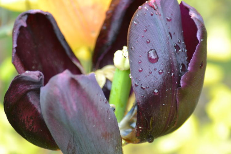 Beauty In Nature Black Tulips Blooming Close-up Dark Red  Day Drop Flower Flower Head Focus On Foreground Fragility Freshness Growth Nature No People Outdoors Petal Plant RainDrop Raindrops On Flowers Tulip Tulips Water Wet