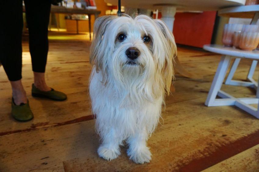 the friends we meet out shopping Dog Pets One Animal Animal Hardwood Floor Domestic Animals Tibetan Terrier Dog Walking