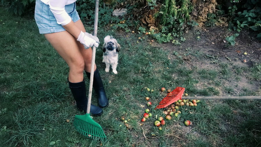 Low section of woman raking by puppy in yard