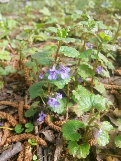 Plant Flower Growth Nature Purple Leaf Outdoors Day Fragility Beauty In Nature Green Color No People Freshness Close-up Flower Head Animal Themes Glechomahederaceae Glechoma Hederacea Creeping Jenny Wild Herbs Medicinal Herb Gill Over The Ground