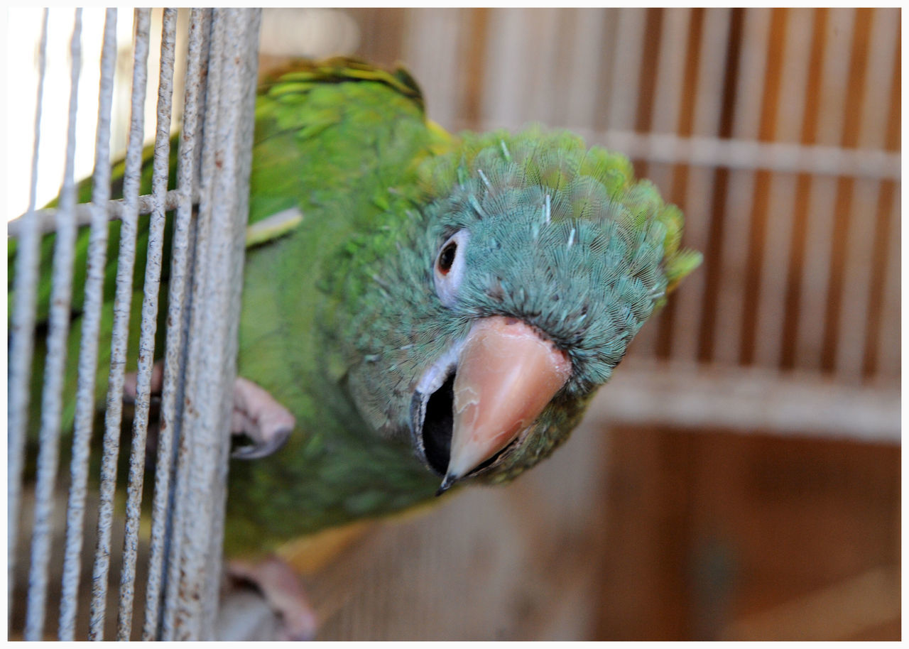 bird, animal themes, cage, one animal, close-up, focus on foreground, animals in the wild, birdcage, parrot, beak, no people, nature, animal wildlife, trapped, day, outdoors, perching, rainbow lorikeet