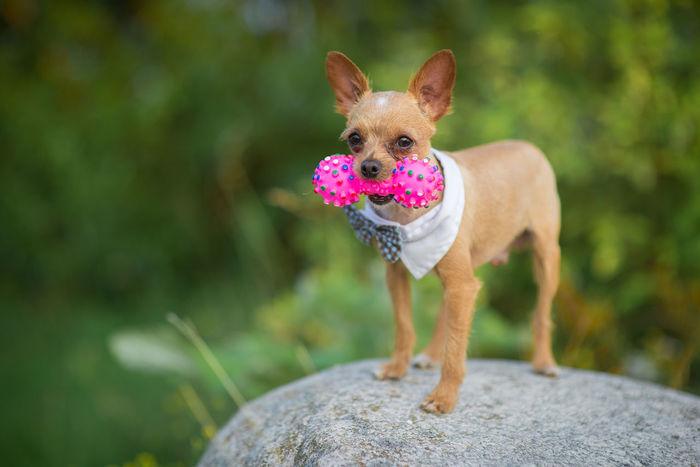Adorable Animal Themes Bow Tie Breed Chihuahua Chihuahua Love ♥ Chihuahualovers Cute Dog Dog Clothes Dog Clothing Dog Fashion Dog Love Doggy Dogs Dogslife Domestic Animals Enjoying Life EyeEm Best Shots EyeEm Dogs EyeEmNewHere Fashion Lifestyles Style Stylish Millennial Pink EyeEm Diversity