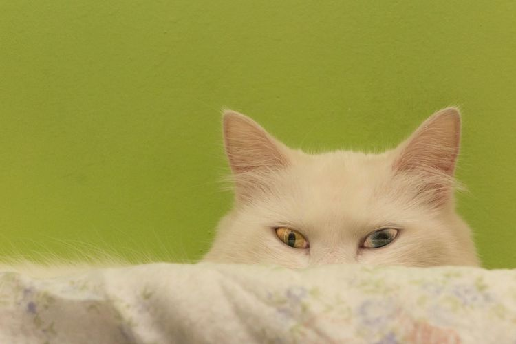 Animal Cat Sleeping Cat White White Cat Blue Yellow Eye Colors Eye Pet