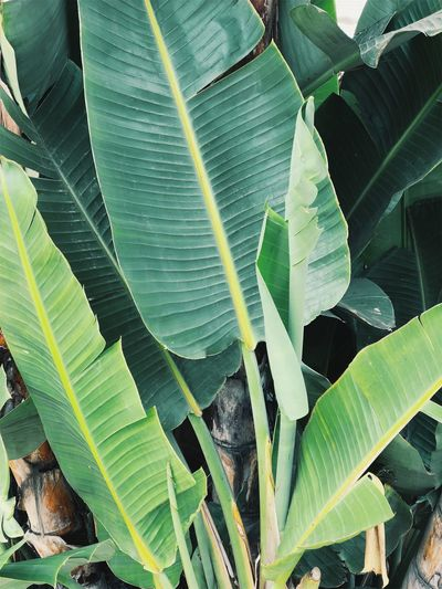 Backgrounds Banana Banana Leaf Banana Tree Beauty In Nature Close-up Day Freshness Green Color Growth Leaf Leaf Vein Leaves Natural Pattern Nature No People Outdoors Plant Plant Part Tranquility
