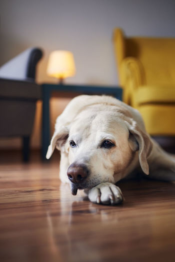 Domestic life with pets. portrait of senior dog at home. bored labrador lying down against chairs.