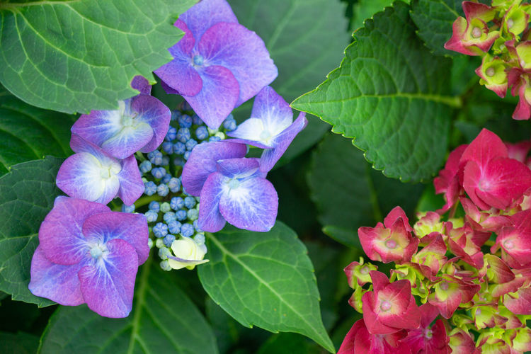 Pink and purple hydrangea with green leaves Pink Hydrangea Purple Flower Nature Plant Leaf Floral Flora Beautiful Blossom Green Background Fresh Spring Garden Petal Bloom Blooming Beauty Color Red Summer Decoration Plant Part Flowering Plant Beauty In Nature Freshness Growth Vulnerability  Close-up Fragility Inflorescence Green Color Day Flower Head Outdoors Springtime Bunch Of Flowers Lilac