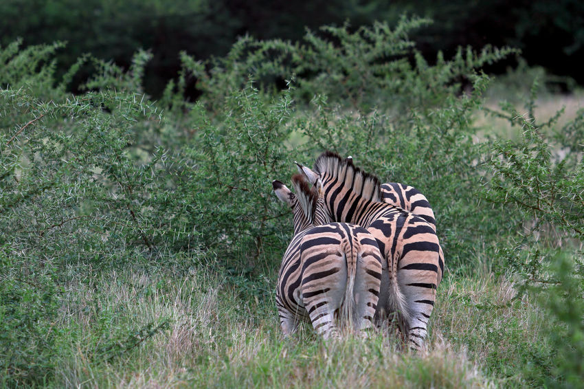 Animal Themes Animal Wildlife Animals In The Wild Day Full Length Grass Green Color Growth Mammal Mauritius Island  Nature No People One Animal Outdoors Plant Safari Animals Striped Tree Zebra