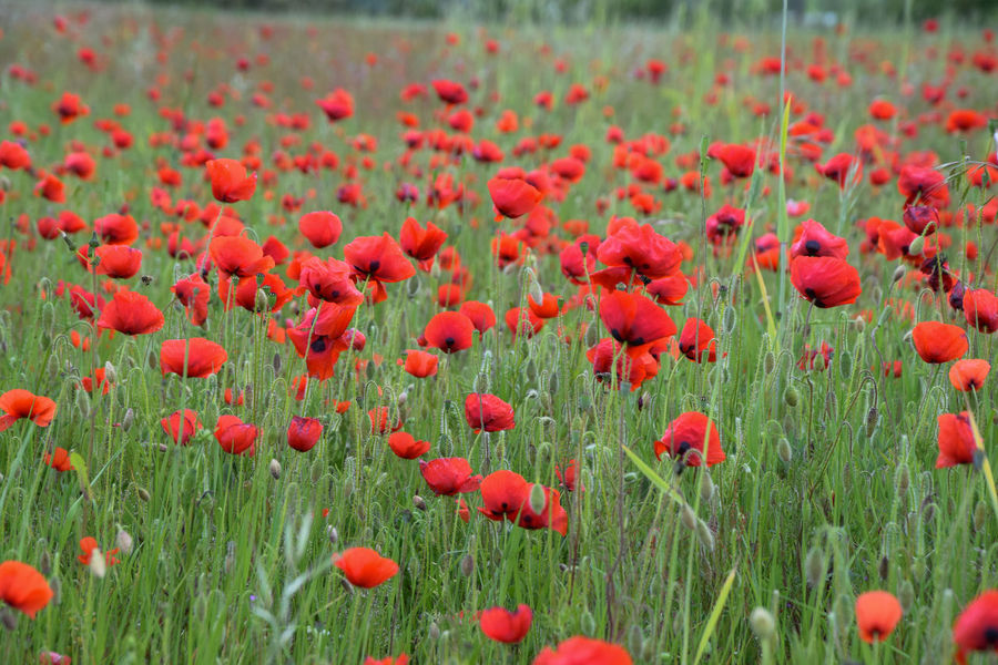 beautiful red poppies field Agriculture Farmer France Grass Poppy Fields Provence Army Day Blooming Coutryside Day Europe Flower Geen Growth Lanscape Nature Pastel Colors Photo Poppies  Red Seaon Spring Summer Wind