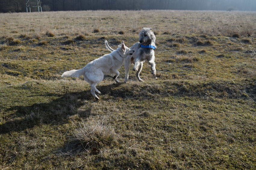 Animal Themes Domestic Animals Sunlight Outdoors Take A Walk In The Park Dog Dogwalk Dogs Of EyeEm Dogslife Irish Wolfhound Cearnaigh Winter 2017 February 2017 How Is The Weather Today? Field Grass White ShepherdDog Play