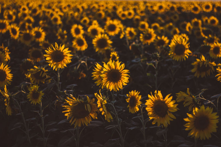 Outdoors Outdoor Tranquility Tranquil Scene Tranquil Flowering Plant Flower Freshness Fragility Growth Vulnerability  Yellow Plant Flower Head Beauty In Nature Petal Close-up Inflorescence Field Nature Land Sunflower No People Pollen Outdoors Flowerbed Autumn Mood