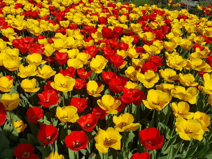 High angle view of red tulips