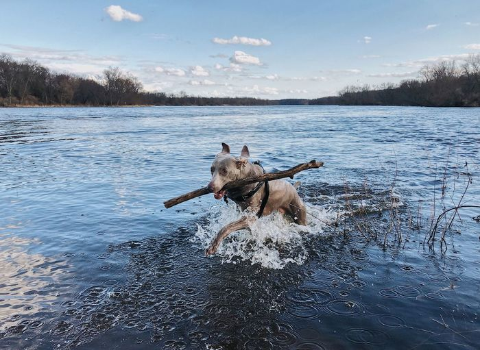 Animal Animal Themes Canine Day Dog Domestic Domestic Animals Lake Mammal Motion Nature No People One Animal Pets Play Running Sky Stick - Plant Part Water Waterfront