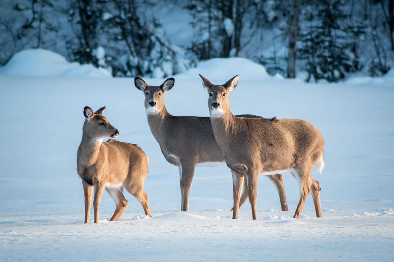 Animal Animal Themes Animals In The Wild Day Original Experiences Deer Doe Fawn Full Length Mammal No People One Animal Relaxation Relaxing Showcase February Side View Snow Standing Three Animals Three Deer Togetherness White Tailed Deer Wildlife Winter Feel The Journey