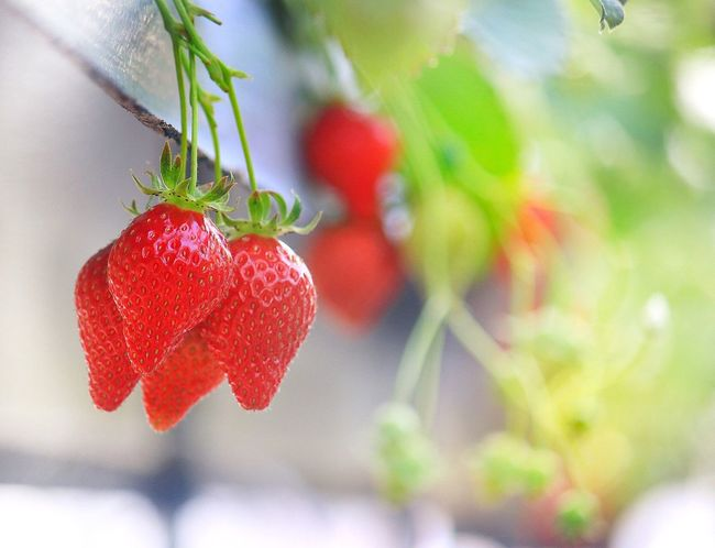 Strawberry🍓 EyeEm Best Shots Red Fruit Growth Food And Drink Focus On Foreground Food Freshness