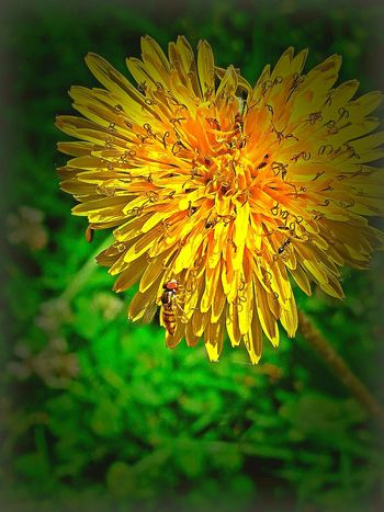 The Essence Of Summer- 2016 EyeEm Awards Dandelion Collection Taking Photos Tiny Insects Bee Close-up JustJennifer@TruthIsBeauty Yellow Flower Check This Out No People TruthIsBeauty Photographic Art 🌷 Summer Time  Bright Colors Orange Hi! Relaxing TruthIsBeauty 💯 Outdoors Insect Flying Insect Heart Shaped  Rare Moment Weeds Are Beautiful Too Original Experiences Day