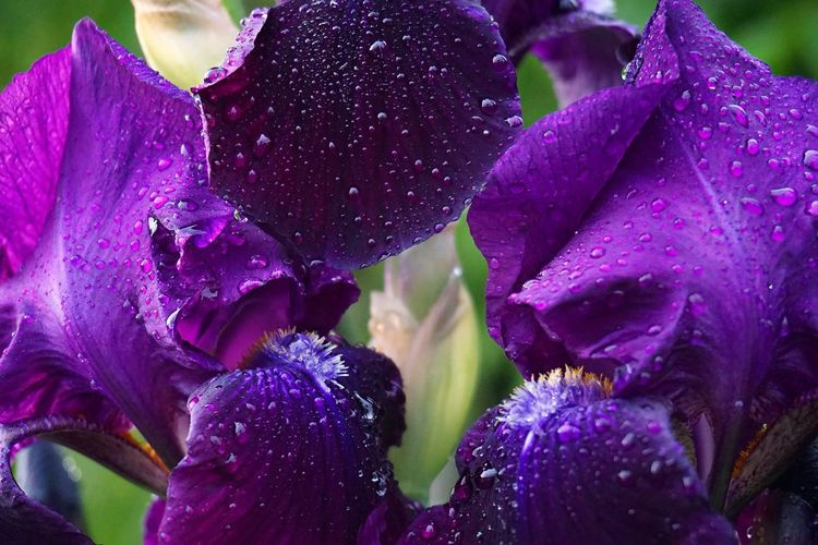 Close-up of wet purple flowers blooming outdoors