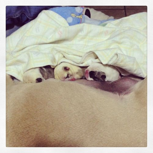 Cutes Babydog Bulldog BabyBulldog Mytruelove