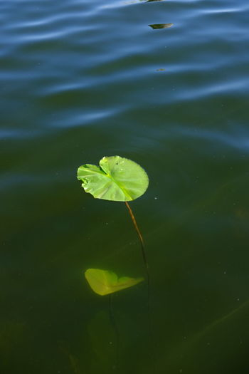 Beauty In Nature Floating On Water Flower Fragility Freshness Green Color Growth Leaf Lily Pad Lotus Water Lily Nature Outdoors Pond Water Water Lily Perspectives On Nature