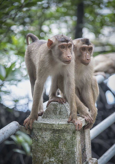 monkey Primate Mammal Animals In The Wild Animal Wildlife Group Of Animals Vertebrate Focus On Foreground Young Animal Day Sitting Tree Nature No People Looking Togetherness Outdoors Animal Family Monkey Macaca Fascicularis Macaque Rhesus Cynomolgus