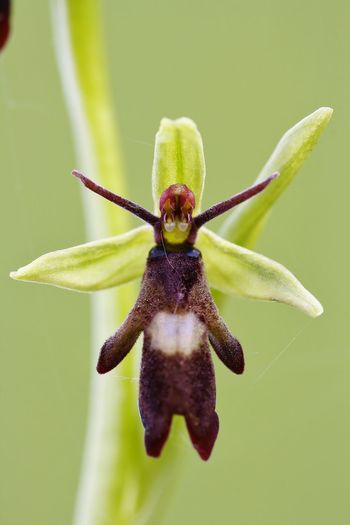 Ophrys insectifera Animal Animal Body Part Animal Themes Animal Wildlife Animals In The Wild Beauty In Nature Close-up Day Flower Flowering Plant Focus On Foreground Fragility Green Color Growth Insect Invertebrate Nature No People One Animal Plant
