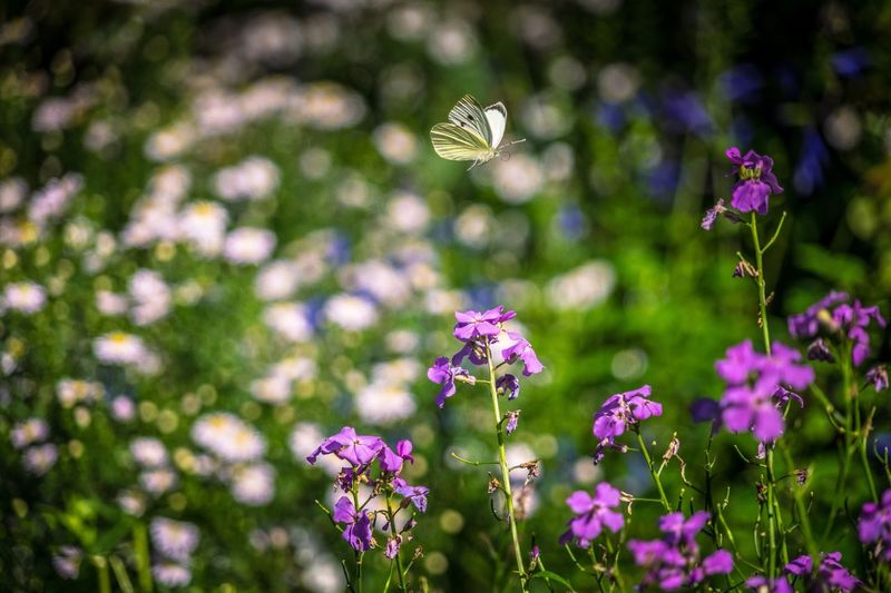 Having a flutter Flower Freshness Fragility Growth Petal Beauty In Nature Close-up Purple In Bloom Plant Flower Head Springtime Nature Stem Blossom Focus On Foreground Botany Day Pink Color Outdoors