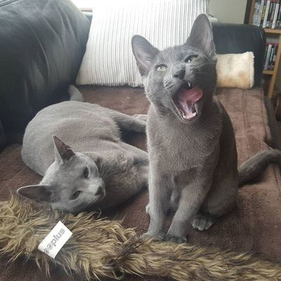 Molly showing off her derpface 😂😙😍 Russianbluesofinstagram Russianbluekitten RussianBlue Russianbluecat Instacat Instakitty Greycat Silvercat Bluecat Cat_features ロシアンブルー Propetsfeature Catstocker Catstock Excellent_cats Rosyjskiniebieski Russischblau Gats Gatos Azulruso Catsmosh N1cecats Thedailykitten Kot Kotek kotka hussycatspetoftodaycatsisters sistercats