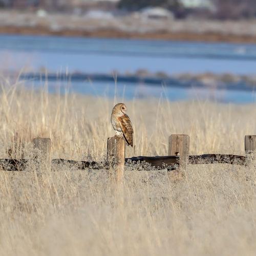 Barn owl,tyto alba, sitting on a fence post in a grassy field.
