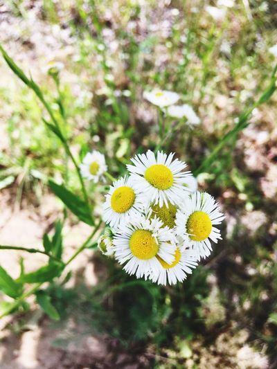 Flower Yellow Nature Fragility Growth Freshness Petal Beauty In Nature Flower Head No People Delicate Close-up Plant Outdoors Blooming Day White EyeEmNewHere EyeEm Selects