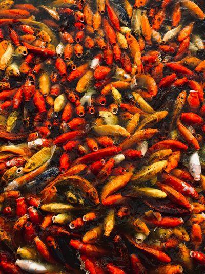 Koi Fish Red