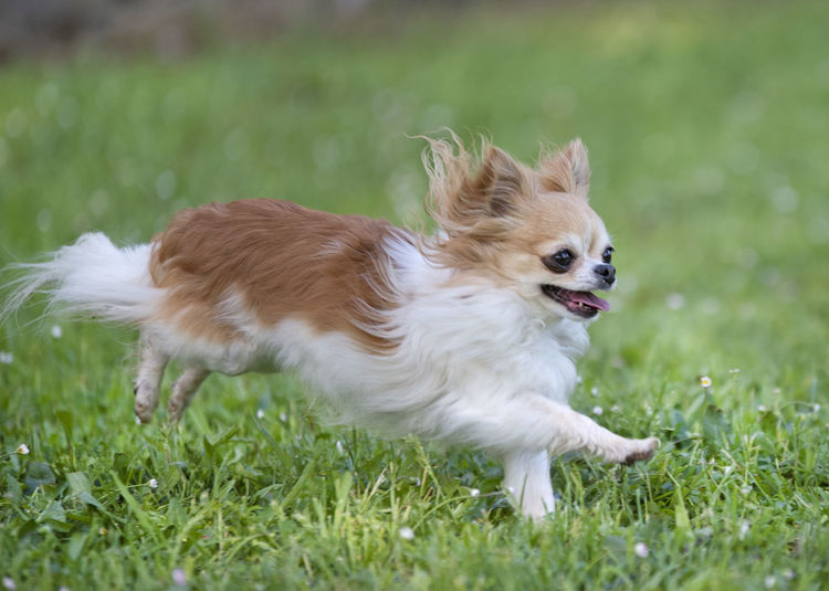 Close-Up Of White Dog Running On Field