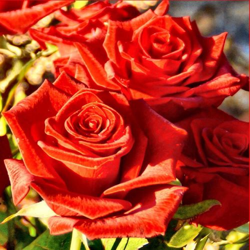 Red Roses 134054