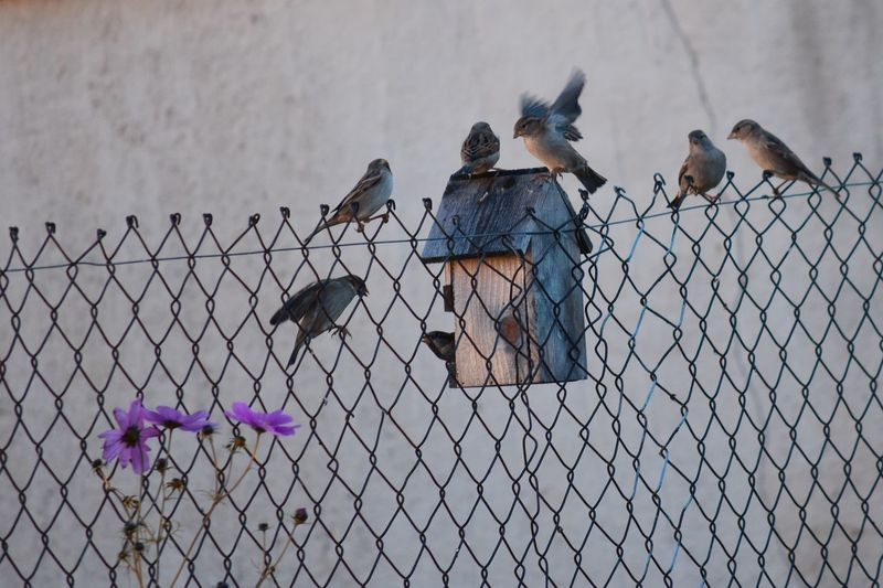 Birds Of EyeEm  Birds Sparrow Sparrows Feeding Sparrows Birdwatching Bird Feeder EyeEm Nature Lover EyeEm Masterclass Wintertime Hungry Feeding Animals Feeding The Birds Bird Perching Togetherness Protection Animal Themes Barbed Wire Fence