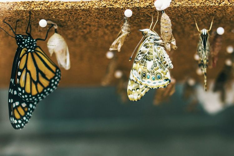 Close-up of butterflies and cocoon hanging on retaining wall