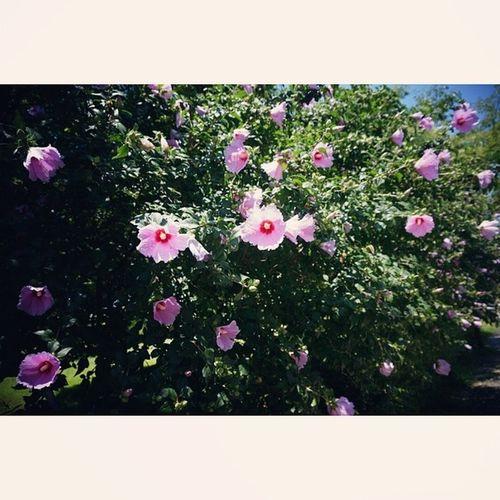 꽃이좋아 참좋아 꽃꽂이 플로리스트 화훼 부케만들기 배우고싶어 무궁화 대전시청사 무궁화길 사진은역시 정작가