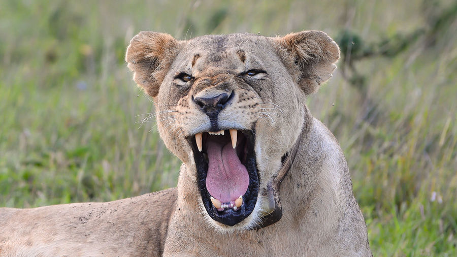 Animal Themes Animal Wildlife Animals In The Wild Close-up Day Focus On Foreground Lion - Feline Lioness Mammal Mouth Open Nature No People One Animal Outdoors Portrait Safari Animals