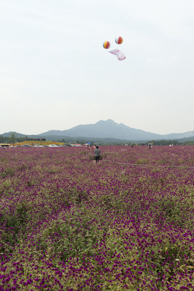 festival of globe amaranth flower at Nari Park in Yangju, Gyeonggido, South Korea Globe Amaranth Flower Animal Themes Balloon Beauty In Nature Day Dog Domestic Animals Field Flower Flying Globe Amaranth Hot Air Balloon Landscape Mammal Mid-air Mountain Mountain Range Nature No People One Animal Outdoors Scenics Sky Tranquil Scene