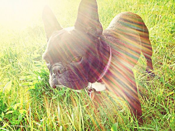 French Bulldog Ilovemydog Cute Pets