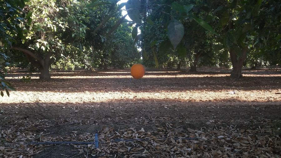 Orange Tree The