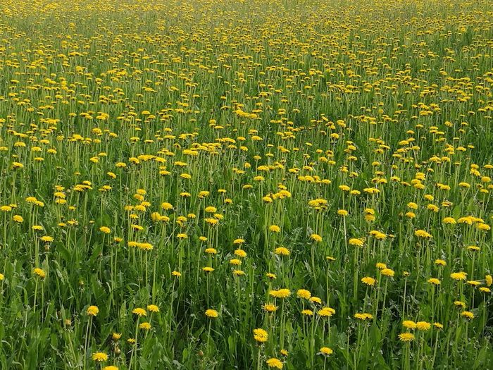 Nature Grass Field Beauty In Nature Backgrounds Full Frame Day Green Color Summer Growth Harmony Yellow Flower Outdoors No People Freshness Dundelion