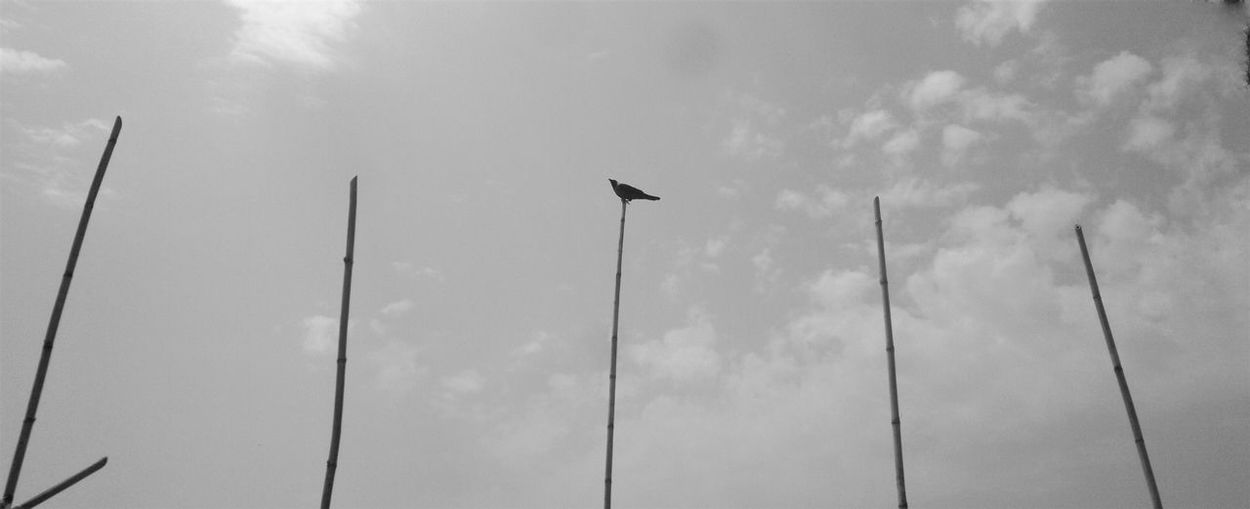 cinema CROWS!!!! Animal Animal Themes Animal Wildlife Animals In The Wild Beauty In Nature Bird Black And White Cloud - Sky Day Environment Flag Low Angle View Nature No People Outdoors Perching Pole Silhouette_collection Silhoutte Photography Sky Sky_collection Sunlight Wind